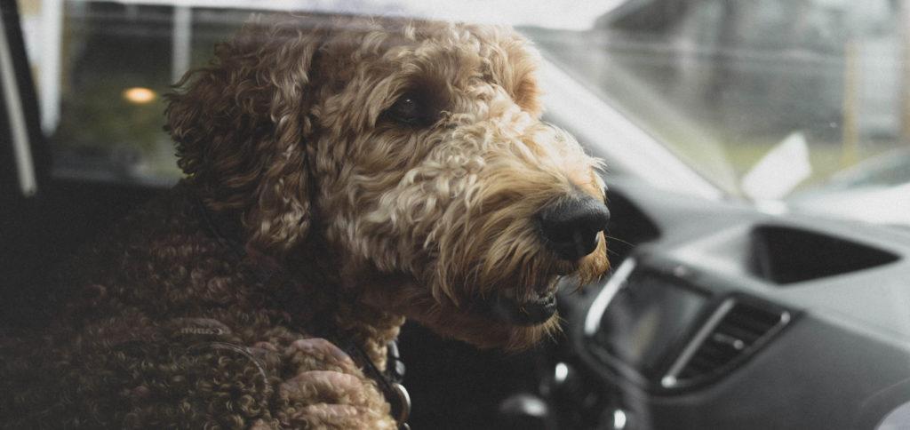 Im Film gern gesehen: Der Hund auf dem Beifahrersitz. Doch darf man einen Hund ohne Transportbox im Auto mitnehmen? Nur wenn eine andere Sicherung gegeben ist! Hier finden Sie alle Details fürs Autofahren mit Tieren.